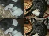 Собаки, щенята Французький бульдог, ціна 3500 Грн., Фото