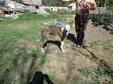 Собаки, щенки Грейхаунд, цена 1800 Грн., Фото