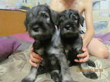 Собаки, щенята Міттельшнауцер, ціна 3200 Грн., Фото