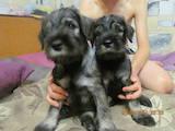 Собаки, щенки Миттельшнауцер, цена 3200 Грн., Фото