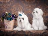 Собаки, щенки Мальтийская болонка, цена 100000 Грн., Фото