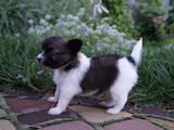 Собаки, щенята Папільон, ціна 20000 Грн., Фото