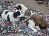 Собаки, щенки Московская сторожевая, цена 1800 Грн., Фото