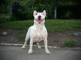 Собаки, щенки Бультерьер, цена 20000 Грн., Фото