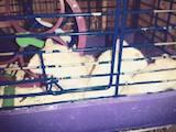 Грызуны Хомяки, цена 10 Грн., Фото