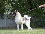 Собаки, щенята Американський акіта, ціна 17000 Грн., Фото