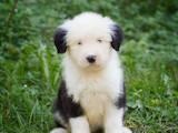 Собаки, щенята Бобтейль, ціна 15000 Грн., Фото