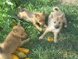 Собаки, щенки Русско-Европейская лайка, цена 7000 Грн., Фото