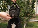 Собаки, щенята Кане Корсо, ціна 20000 Грн., Фото
