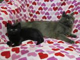Кошки, котята Британская длинношёрстная, цена 5 Грн., Фото