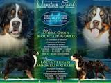 Собаки, щенки Бернская горная собака, цена 20000 Грн., Фото
