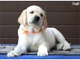 Собаки, щенята Лабрадор ретрівер, ціна 6500 Грн., Фото