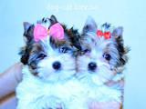 Собаки, щенята Йоркширський тер'єр, ціна 12 Грн., Фото