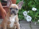 Собаки, щенята Французький бульдог, ціна 13500 Грн., Фото