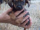 Собаки, щенки Гладкошерстная такса, цена 900 Грн., Фото