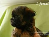 Собаки, щенята Брабантський гріффон, ціна 12500 Грн., Фото
