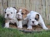 Собаки, щенки Английский бульдог, цена 3500 Грн., Фото