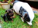 Собаки, щенята Йоркширський тер'єр, ціна 2500 Грн., Фото