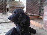 Собаки, щенки Английский коккер, цена 1050 Грн., Фото