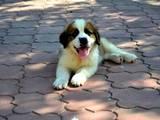 Собаки, щенята Сенбернар, ціна 100 Грн., Фото