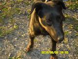 Собаки, щенки Ягдтерьер, цена 1300 Грн., Фото