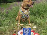 Собаки, щенята Американський стаффордширський тер'єр, ціна 2000 Грн., Фото