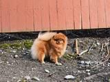 Собаки, щенки Померанский шпиц, цена 25000 Грн., Фото