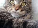 Кішки, кошенята Мейн-кун, ціна 8500 Грн., Фото