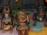 Собаки, щенята Гладкошерста такса, ціна 2500 Грн., Фото