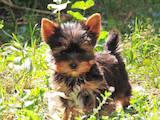 Собаки, щенки Йоркширский терьер, цена 4950 Грн., Фото
