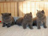 Кошки, котята Шотландская вислоухая, цена 500 Грн., Фото