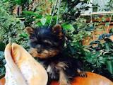 Собаки, щенки Йоркширский терьер, цена 4800 Грн., Фото