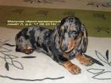 Собаки, щенята Гладкошерста мініатюрна такса, ціна 8000 Грн., Фото