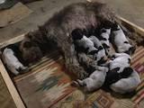 Собаки, щенки Немецкая жесткошерстная легавая, цена 700 Грн., Фото