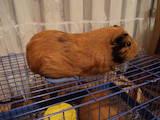 Гризуни Морські свинки, ціна 400 Грн., Фото