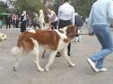 Собаки, щенята Московська сторожова, Фото