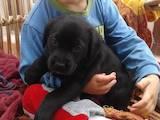 Собаки, щенята Лабрадор ретрівер, ціна 2000 Грн., Фото