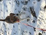 Собаки, щенята Бігль, ціна 20 Грн., Фото