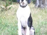 Собаки, щенки Немецкий дог, цена 15000 Грн., Фото