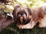 Собаки, щенки Ши-тцу, цена 2800 Грн., Фото