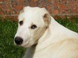 Собаки, щенята Середньоазіатська вівчарка, ціна 13250 Грн., Фото