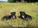 Собаки, щенята Ротвейлер, ціна 20000 Грн., Фото