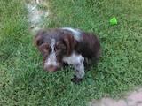 Собаки, щенята Дірхаунд, ціна 1200 Грн., Фото