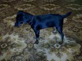 Собаки, щенята Ягдтер'єр, ціна 10 Грн., Фото