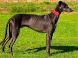 Собаки, щенки Грейхаунд, цена 1300 Грн., Фото