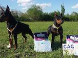 Собаки, щенята Пінчер, ціна 5500 Грн., Фото
