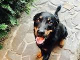 Собаки, щенки Босерон, цена 250 Грн., Фото