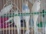 Папуги й птахи Папуги, ціна 150 Грн., Фото