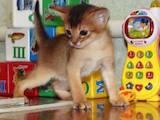 Кішки, кошенята Абіссінська, ціна 14000 Грн., Фото