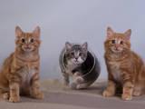 Кошки, котята Курильский бобтейл, цена 3000 Грн., Фото